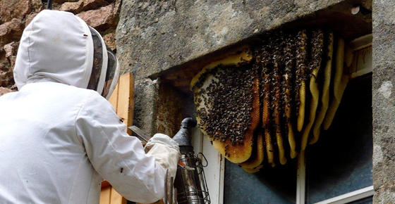 Bee Nest Removal Permit