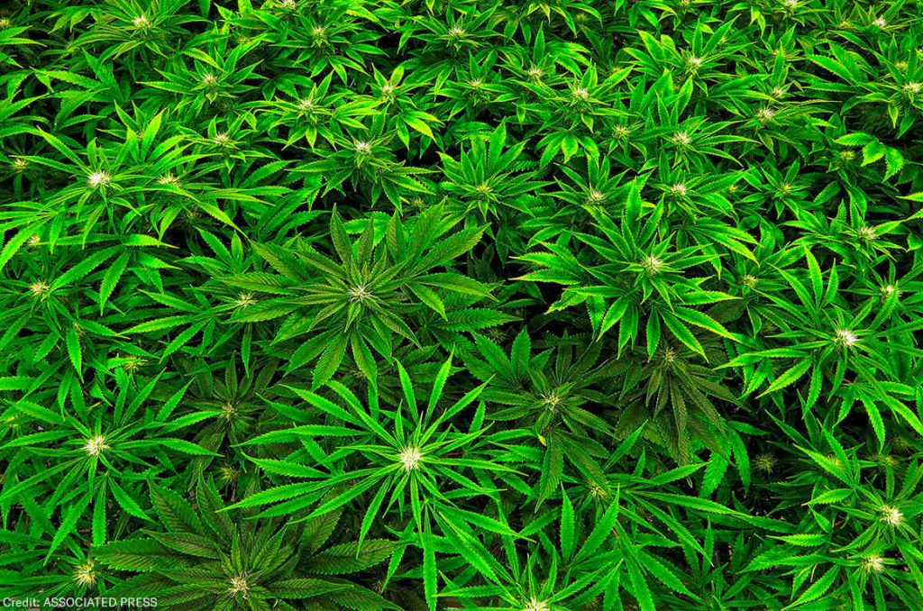 What are the Buds of Legal Marijuana?